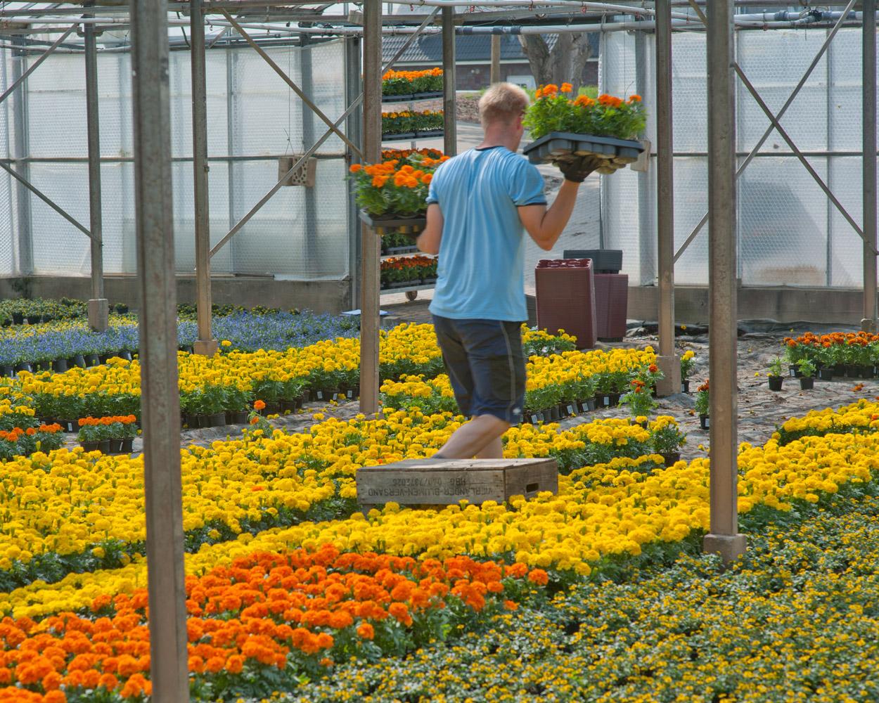 Ein Gärtner des Fachgebiets Zierpflanzenbau bei der Arbeit im Gewächshaus